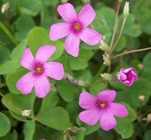 The plant of the week this species is also represented in gardens with a white flowered form as well as a clone with bi colored petals pink grading to white mightylinksfo